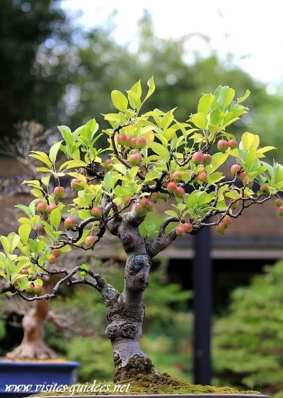 Pommier bonsaï