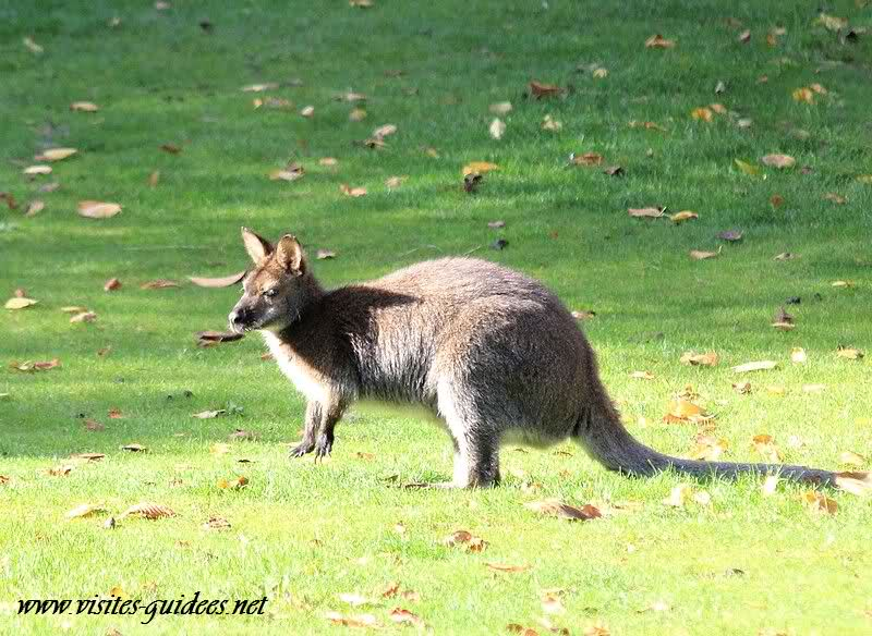 Wallaby de Bennett