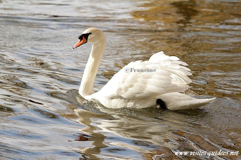 Cygne tuberculé lac Daumesnil
