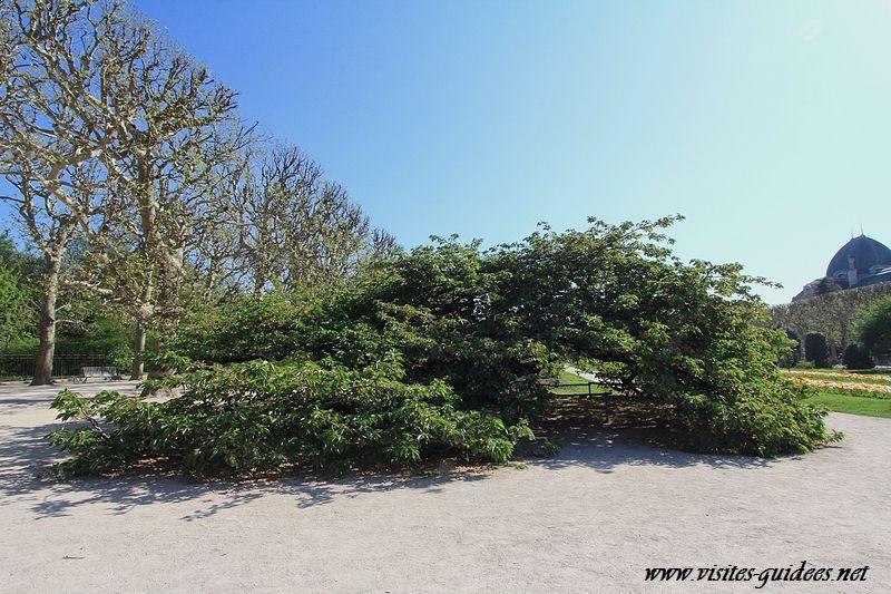 Prunus Shirotae jardin des Plantes Paris