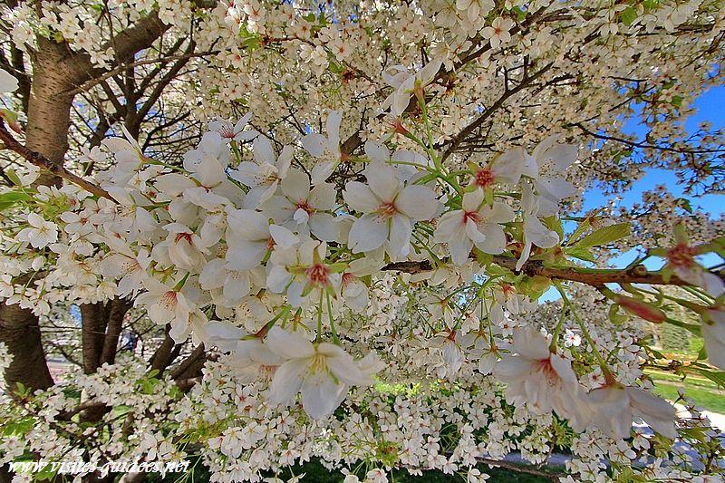 Prunus sp Parc floral Paris